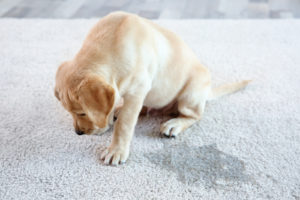 puppy next to a wet spot on the carpet.