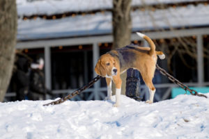 dog peeing in the snow